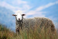 Free Brown Sheep On Grass In Auto Focus Photography Royalty Free Stock Images - 109910329