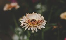 Free Aster Flowers Royalty Free Stock Photography - 109910427