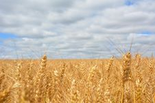 Free Wheat Field Under Blue Cloudy Sky Stock Images - 109910684