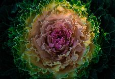 Free HD Photography Of Flowering Cabbage Royalty Free Stock Photography - 109910717