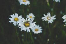 Free Insect On White Daisy Flower Stock Photography - 109910812
