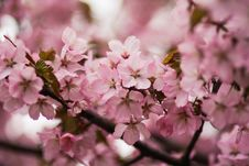 Free Pink Cherry Blossoms Royalty Free Stock Image - 109910836