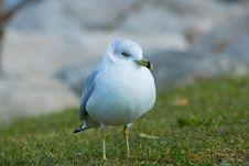 Free White Bird On Green Grass Royalty Free Stock Photo - 109911015