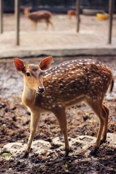 Free Brown And White Spotted Deer Stock Photos - 109911023