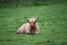 Free Brown And White Highland Cattle Royalty Free Stock Images - 109911039