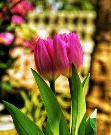 Free Two Pink Tulip Flowers Stock Photography - 109911112