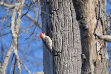 Free Gray And Red Woodpecker Royalty Free Stock Photos - 109911258
