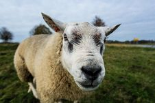 Free Close Up Photography Of White Sheep Stock Photo - 109911330