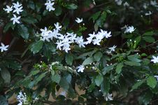 Free Closeup Photo Of White Petaled Flowers Royalty Free Stock Photography - 109911367