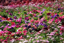 Free Pink, Purple, And White Impatiens Plant Field Royalty Free Stock Images - 109911389