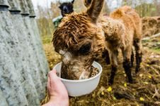 Free Brown Alpaca Royalty Free Stock Photo - 109911495