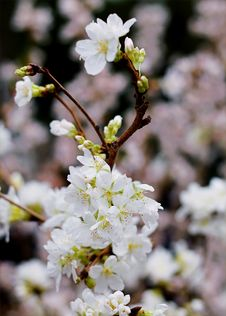 Free Cherry Blossom Stock Images - 109911524