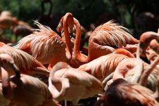 Free Flock Of Lesser Flamingo Royalty Free Stock Image - 109911596