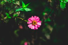 Free Tilt Shift Photography Of Pink Zinnia Flower Royalty Free Stock Images - 109911619