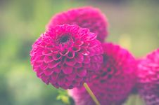 Free Pink Flowers Stock Photography - 109911632