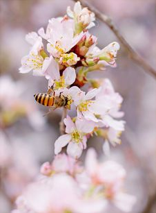 Free Closeup Photo Of Honeybee Perched On Pink-and-white Cluster Flowers Royalty Free Stock Photography - 109911667