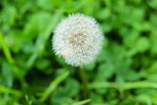 Free Dandelion Stock Image - 109911681