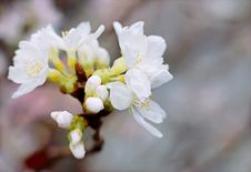 Free White Cherry Blossoms In Bloom Close-up Photo Royalty Free Stock Photos - 109911718