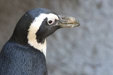 Free Close-up Photo Of Penguin Stock Images - 109911914