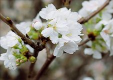 Free White Cherry Blossoms Royalty Free Stock Images - 109912099