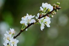 Free Selective Focus Photography Of White Cherry Blossoms Royalty Free Stock Image - 109912366
