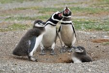 Free Two White-and-black Adult Penguins Near Two Penguin Chicks Stock Photos - 109912383