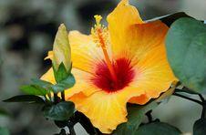 Free Yellow Hibiscus Stock Image - 109912461