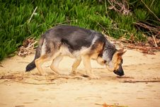 Free Photo Of A German Shepherd Sniffing Stock Images - 109912594