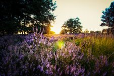 Free Purple Lavender On Field During Sunset Royalty Free Stock Images - 109912599