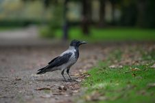 Free Black Winged Crow On Grass Field Stock Photos - 109912623