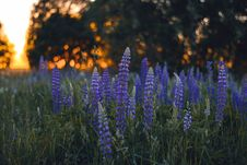 Free Close-up Photography Of Lupines Stock Images - 109912774