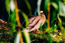 Free Photography Of Brown And Green Mallard Duck Near Green Plants Stock Images - 109912854