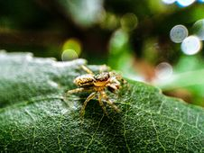Free Macro Photography Of Brown Jumping Spider On Green Leaf Stock Photo - 109912870