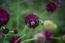 Free Shallow Focus Photography Of Three Bees On Purple Flower Royalty Free Stock Photography - 109913007