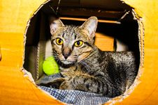 Free Silver Tabby Cat Inside A Brown Cardboard Box Royalty Free Stock Image - 109913136