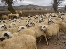 Free Herd Of Sheep Royalty Free Stock Photos - 109913158