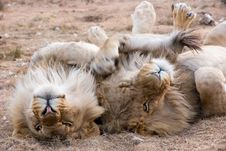 Free Two Gray Lions Laying On Sand Stock Images - 109913184