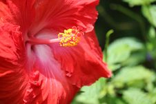 Free Red Hibiscus Selective Photography Stock Images - 109913204