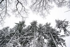 Free Grayscale Photo Of Pine Trees Stock Photos - 109913243