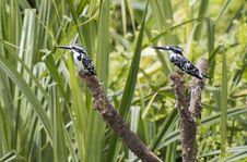 Free Two Black-and-white Bird Royalty Free Stock Photo - 109913275