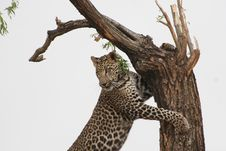 Free Leopard Leaning On Tree Stock Images - 109913314