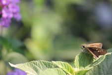 Free Brown Skipper Moth Perched On Green Leaf Royalty Free Stock Image - 109913346