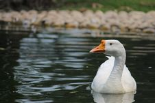 Free Goose On Body Of Water Royalty Free Stock Photos - 109913358