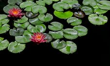 Free Red-and-green Lily Pads Focus Photography Stock Photography - 109913362