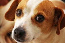 Free Close Up Photo Of Short-coated Brown And White Dog Royalty Free Stock Image - 109913406