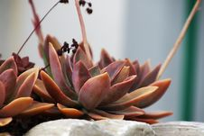 Free Red Succulents Stock Image - 109913411