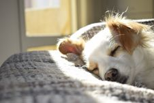 Free Closeup Photography Of Adult Short-coated Tan And White Dog Sleeping On Gray Textile At Daytime Royalty Free Stock Photography - 109913427