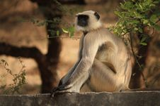 Free Depth Of Field Of Gray Langur Sitting On Gray Concrete Surface Near Green Leaf Plant Stock Photo - 109913430