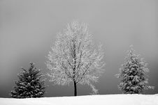 Free Grayscale Photo Of Bareless Tree Between Tree With Snow Stock Photography - 109913512