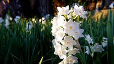 Free White Daffodil Flowers In Closeup Photography Royalty Free Stock Image - 109913626